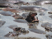 Hippopotamus Bathing and Yawn Stock Photography