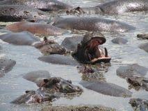Hippopotamus Bathing and Yawn. The hippopotamus (Hippopotamus amphibius), or hippo is a large, mostly herbivorous mammal in sub-Saharan Africa. In this image Stock Photography