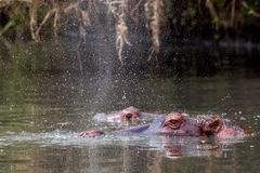 Hippopotamus Blowing Water. Hippopotamus, just risen from the depths of a pool, blowing water high into the air.  The fine spray dominates the photograph, with Royalty Free Stock Photo