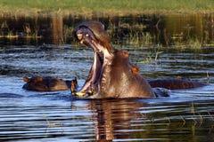 Hippopotamus - Botswana Stock Images