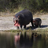Hippopotamus - Botswana. Mother and baby Hippopotamus (Hippopotamus amphibius) at a waterhole in the Savuti region of Botswana in Southern Africa Stock Photo