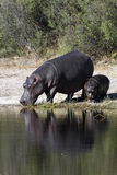 Hippopotamus - Botswana. Hippopotamus (Hippopotamus amphibius) in the Chobe River in Botswana stock images