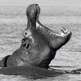 Hippopotamus - Botswana Royalty Free Stock Photo