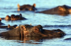 Hippopotamus - Botswana Royalty Free Stock Photos