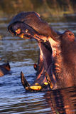 Hippopotamus - Botswana - Africa Royalty Free Stock Photos