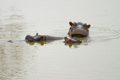 Hippopotamus in the Bush in South Africa Stock Images