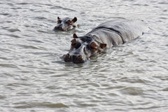 HIPPOPOTAMUS AND CALF Stock Images