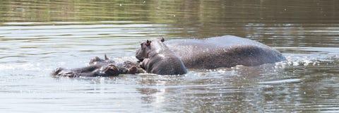 Hippopotamus calf climbs on top of mother Stock Image