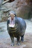 Hippopotamus captif baîllant ou hurlant dans un zoo espagnol Photos stock
