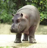 Hippopotamus, cavallo di fiume attaccato al safari Fotografie Stock