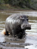 Hippopotamus charging in South Africa Stock Image