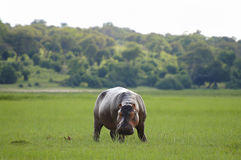 Hippopotamus - Chobe National Park - Botswana royalty free stock photography