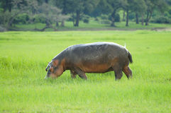 Hippopotamus - Chobe National Park royalty free stock images