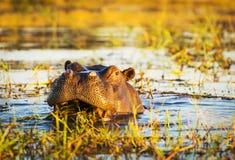 Hippopotamus Chobe River Royalty Free Stock Photos
