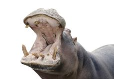 Hippopotamus. Close picture of an hippopotamus with open mouth stock images