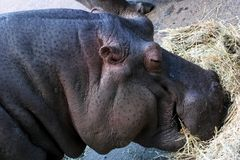Hippopotamus Close-up Stock Images