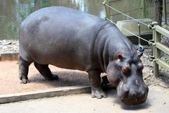 Hippopotamus Close-up Stock Photo