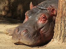 Hippopotamus. Close up of gray and pink hippo laying by tree with open eye stock photos