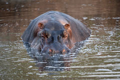 Hippopotamus close-up Stock Photos