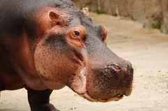 Hippopotamus closeup Royalty Free Stock Photos