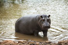 Hippopotamus coming out of the water Stock Photos