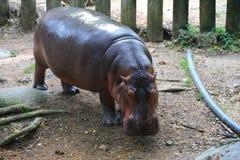 Hippopotamus. The common hippopotamus (Hippopotamus amphibius), or hippo, is a large, mostly herbivorous mammal in sub-Saharan Africa, and one of only two extant Stock Photos