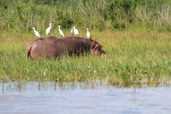 Hippopotamus con i Egrets fotografia stock libera da diritti