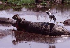 Hippopotamus con l'airone sulla sua parte posteriore, cratere di Ngorongoro, Tanzania Immagine Stock