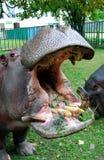 Hippopotamus con la boca abierta Imagen de archivo libre de regalías
