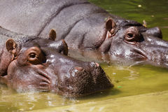 Hippopotamus couple resting in the water in zoo Royalty Free Stock Image
