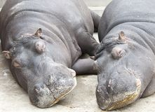 Hippopotamus couple sleeping Royalty Free Stock Photography