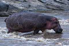 Hippopotamus crossing river Stock Photos