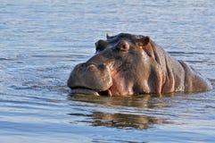 Hippopotamus de l'Afrique   photos stock