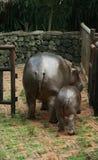 Hippopotamus de la familia Imágenes de archivo libres de regalías
