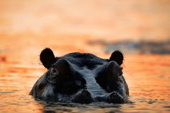 Hippopotamus on a decline. The hippopotamus in the light of the sunset sun sits in a bog Stock Image