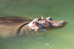 hippopotamus del bambino fotografie stock libere da diritti