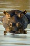 Hippopotamus an der Dämmerung Lizenzfreie Stockfotografie