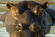 Hippopotamus an der Dämmerung Stockbild