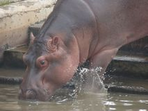 Hippopotamus drinking water in captivity royalty free stock images
