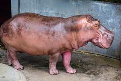 Hippopotamus in Dusit Zoo. In Bangkok, Thailand Stock Image