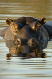 Hippopotamus at dusk. Hippopotamus in African watering hole at dusk. Located at Londolozi in Sabi Sands, Kruger National Park, South Africa royalty free stock photography