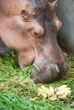 Hippopotamus eating Stock Images