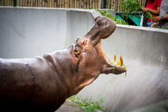 Hippopotamus eating grass. Hippopotamus eating grass in Bangkok zoo royalty free stock image