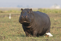 Hippopotamus eating grass out of the river Royalty Free Stock Photography