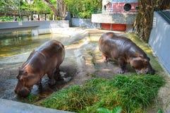 Hippopotamus eating the grass. Two Hippopotamus eating grass in the zoo Royalty Free Stock Photo