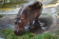 Hippopotamus eating. Grass in the zoo Royalty Free Stock Photos