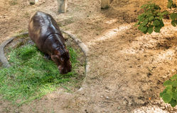 A hippopotamus is eating grass Royalty Free Stock Photography