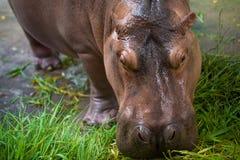 Hippopotamus eating green grass Stock Photography
