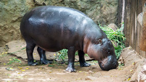 Hippopotamus in Royalty Free Stock Photos