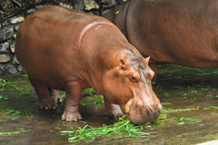 Hippopotamus eating on the ground Stock Images